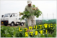 グレイス農園・減農薬野菜の収穫の様子
